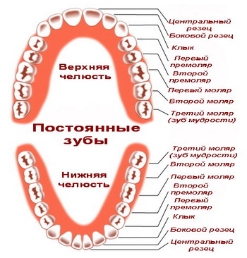 Что такое моляры? Зуб 98