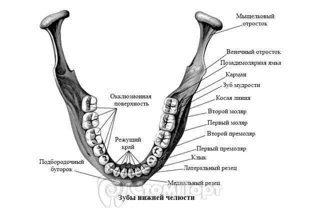 Моляры нижней челюсти